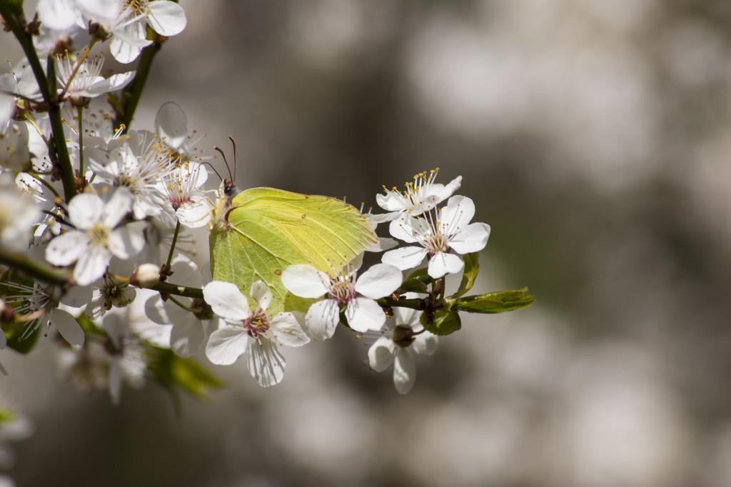 Motyl cytrynek