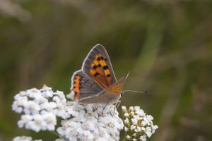 Motyl pomarańczowy